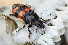 Nicrophorus vespillo | Flickr - Photo Sharing!