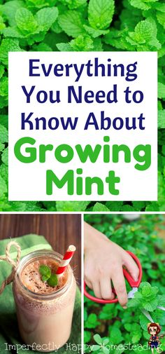 Everything You Need to Know About Growing Mint in your herb garden - for culinary and medicinal uses.