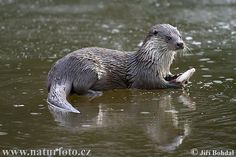 Google Image Result for http://www.naturephoto-cz.com/photos/others/otter-7529.jpg