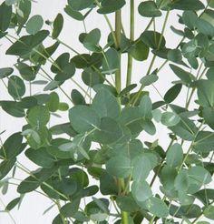 Flower Eucalyptus Silver Drop D1500A 50 (Green) Seeds by David's Garden Seeds David's Garden Seeds http://www.amazon.com/dp/B00EIRD72Y/ref=cm_sw_r_pi_dp_SuUyub1WX5T11