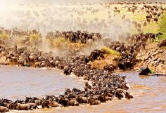 "Described as ""the World Cup of wildlife,"" the great migration of more than a million wildebeests, 500,000 gazelles, and 200,000 zebras from the Serengeti National Park in Tanzania to the Maasai Mara National Reserve in Kenya is one of the greatest natural wonders. Taking place from July through October, the migration is high drama and immense, with animals stampeding, leaping into rivers, honing in on their prey, and giving birth. The timing of it is quite unpredictable, but if you get the chance to see it on safari, you will be among a lucky few."