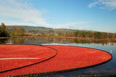 Wicked Big Picture | Yankee Magazine...cranberry bog