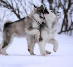 Baby huskies playing in the snow.