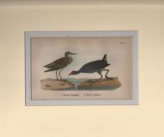 Pectoral Sandpiper And Florida Gallinule1890 Warren Chromo DOUBLE MATTED