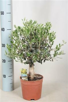 Plants As Gift For Him Her On Pinterest Olive Plant