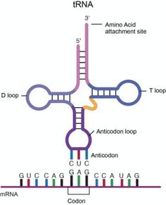 An overview of the type of RNA RNA Molecule are unique nucleic acids that are essential to protein synthesis . messenger RNA , transfer RNA and ribosomal RNA are three types of RNA . Cell Biology, Ap Biology, Teaching Biology, Biology Teacher, Science Classroom, Science Education, Life Science, Translation Biology, Scientific Journal Articles