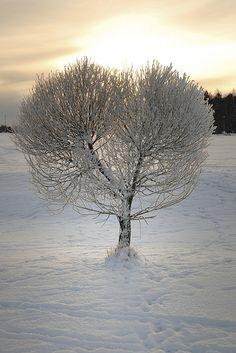 Heart shaped winter tree
