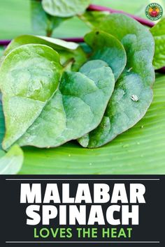 Malabar spinach isn't a true spinach at all, but tastes like it when cooked. Learn how to grow this prolific staple green with our guide!