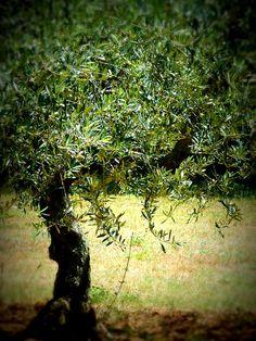 Olive tree, Aubais, Languedoc-Roussillon, France