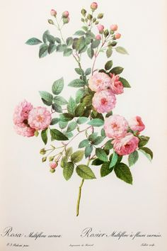 Pierre Redoute, Vintage 1950s Botanical Rose Print on Good Quality Art Paper…
