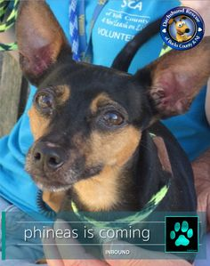 MINT PAW ALERT - PHINEAS   We just received an urgent email from York County Shelter. Could we help this little doxie mix. Phineas has been overlooked time and again and has been at the shelter for months. Don't worry Phin...we are on the way. Soon you will be part of the DRBC family. Please send prayers and positive vibes to the extraction team. Like and share for maximum effect!