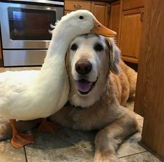 This duck and dog are best friends! I love cross-species friendships.