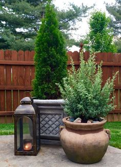 Potted texas sage and emerald green arborvitae…