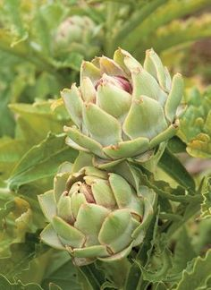 artichoke in edible garden