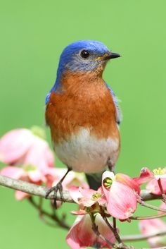 Male Eastern Bluebird (Sialia sialis) on Pink Flowering Dogwood (Cornus florida var. Dogwood Trees, Flowering Trees, State Birds, Wild Birds, Birds 2, Backyard Birds, Bird Pictures, Walking In Nature, Bird Watching