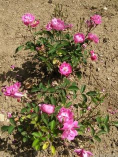 'Mr. Bluebird ' Rose Photo