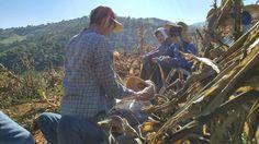 Colheita do milho em Noiva do Cordeiro