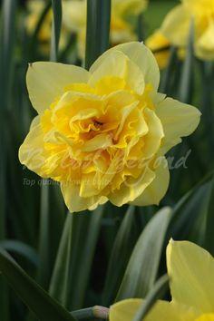 Daffodil - Dick Wilden