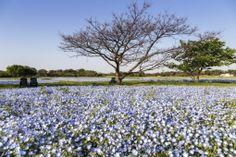 """Hill of flower"" in Fukuoka City, Uminonakamichi Seaside Park More Japanese pics ... http://jpnpics.com"