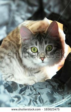 silver kitten of siberian cats playing with a tunnel - new on @Shutterstock
