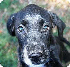 Trenton, NJ - Labrador Retriever/Boxer Mix. Meet EVAN, a puppy for adoption. http://www.adoptapet.com/pet/11694642-trenton-new-jersey-labrador-retriever-mix