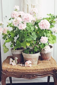 Types of Houseplant Bugs and Methods to Check Their Infestation Vibeke Design Pink Geranium, Geranium Plant, Vibeke Design, Cottage Garden Design, Deco Floral, Container Gardening, Succulent Containers, Container Flowers, Container Plants