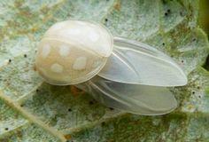 Mariquita albina
