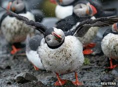 A puffin shakes off rain in the Farne Islands, off Northumberland