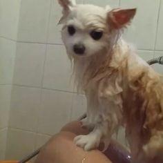 #whitepomeranian #pomeranian #pet #puppy #cute