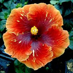 Hibiscus 'Heartbreak Hotel' is one of the few offspring of Wild Thing.