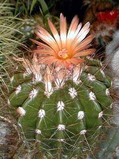 Notocactus horstii
