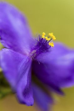 Purple Haze by Caitlyn Grasso. This macro of a lovely purple tradescantia virginiana (aka Virginia spiderwort or widow's tears) showcases its fascinating fuzzy center. The narrow depth of field was done in camera and in natural light. Dark Room Photography, Depth Of Field, Purple Haze, Got Print, Any Images, Garden Art, Natural Light, High Gloss, Fine Art America