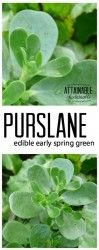 You might know purslane as a weed (as I once did) but it's a forager's delight. This early spring green is prolific where it's naturalized and incredibly good for you, too. You might even want to transplant some into your vegetable garden!