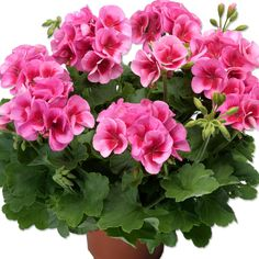 Pelargoni Rose Mega Splash - Viherpeukalot