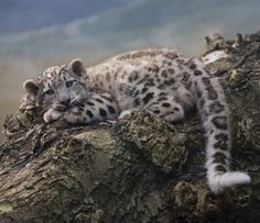 "beautiful-wildlife: ""Snow Leopard Cub by Tygrik "" - Schneeleopard - Animals Pretty Cats, Beautiful Cats, Animals Beautiful, Leopard Cub, Clouded Leopard, Baby Snow Leopard, Big Cats, Cats And Kittens, Cute Cats"