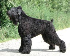 Russian Black Terrier - Русский черный терьер