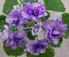 Cajun's wisteria african violet