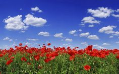 Poppy flower field under blue sky resolution Blue Sky Wallpaper, Field Wallpaper, Nature Iphone Wallpaper, Flower Wallpaper, Hd Wallpaper, Beautiful Landscapes, Beautiful Images, Beautiful Scenery, Poppy Photo