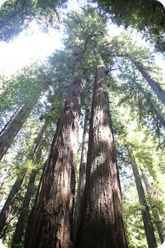 redwoods, northern California   been there