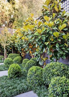 Contemporary Garden Design by C.O.S Design Magnolia Grandiflora ('Teddy Bear') trees leave room for a low hedge to create visual interest