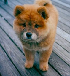 Chow Mix Puppies | Posted Under: Chow Chows , Dog Tips , Dog Training Tips