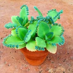 Detailed information about Kalanchoe daigremontiana 'Mother of Thousands' succulent plant. All the tips and tricks to grow Mother of Thousands plant. Succulent Gardening, Cacti And Succulents, Planting Succulents, Cactus Plants, Garden Plants, House Plants, Planting Flowers, Succulent Care, Succulent Ideas