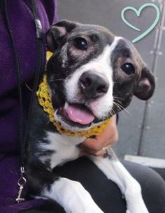SAFE 11-25-2015 --- Manhattan Center PORSHE – A1058398 SPAYED FEMALE, BL BRINDLE, AM PIT BULL TER MIX, 10 mos OWNER SUR – ONHOLDHERE, HOLD FOR ID Reason NO TIME Intake condition UNSPECIFIE Intake Date 11/19/201 http://nycdogs.urgentpodr.org/porshe-a1058398/