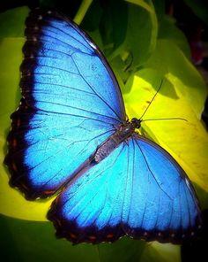 Photograph Blue Morpho by Josef Anton on Morpho Butterfly, Butterfly Baby, Butterfly Kisses, Butterfly Wings, Monarch Butterfly, Beautiful Bugs, Beautiful Butterflies, Beautiful Images, Morpho Azul