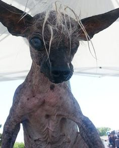 SweetPee Rambo, a contestant in the World's Ugliest Dog competition this year.