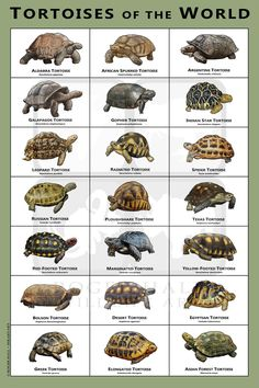 Tortoises of the World Art Print / Field Guide Tortoise House, Tortoise Habitat, Turtle Habitat, Baby Tortoise, Sulcata Tortoise, Tortoise Care, Tortoise Turtle, Largest Sea Turtle, Red Footed Tortoise