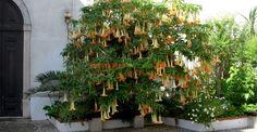 Trompeta îngerilor (Datura arborescentă) | Paradis Verde Angels, Green, Plant