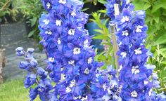 I think Delphinium would be really cool!