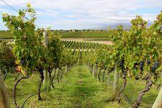 Vinhedos na vinícola Monteviejo, em Mendoza, na Argentina