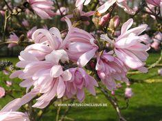 Magnolia stellata 'Chrysanthemiflora' Magnolia Stellata, Bloom, Magnolias, Outdoor Spaces, Garden, Flowers, Plants, Magnolia Trees, Outdoor Living Spaces